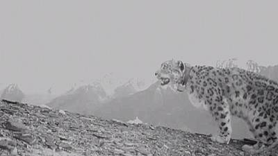 Could snow leopards boost tourism to Afghanistan?