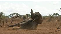 Kenya : Radio collars on elephants [No Comment]