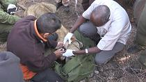 Kenya continues to strap GPS collars on lions [no comment]