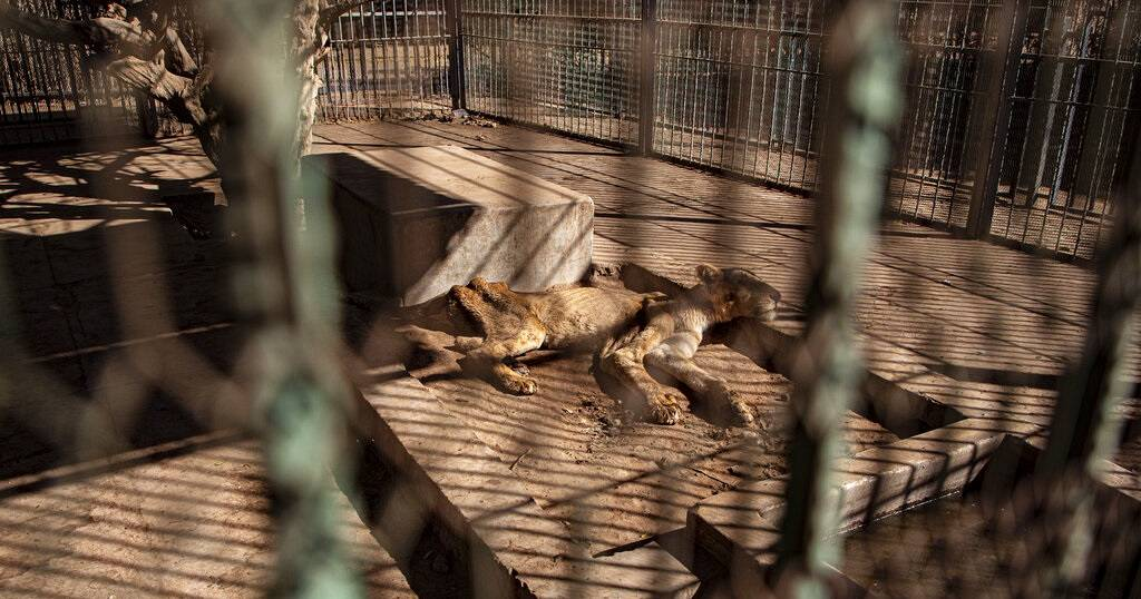 How social media outrage saved bony, starving lions in Sudan zoo