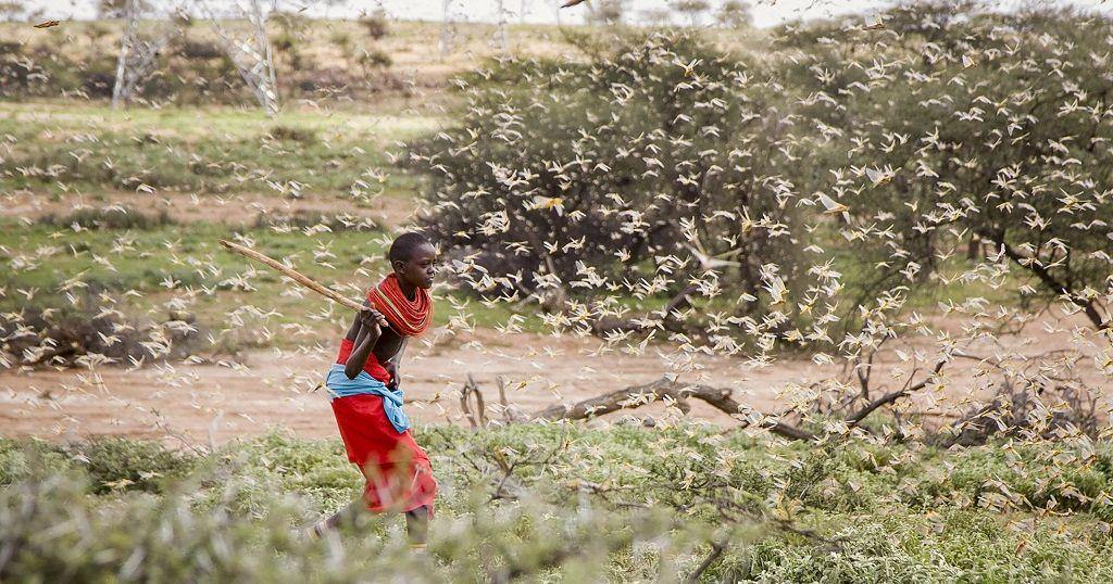 Uganda on alert as Kenya struggles to stop locust swarms