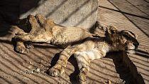 Au Soudan, des experts au chevet des lions à l'agonie