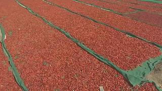 Climate change threatens chilli harvest in Pakistan