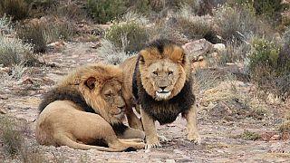 Afrique du Sud : des lions tuent une employée d'une réserve de chasse privée