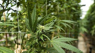 Maroc : plus de sept tonnes de cannabis saisies, huit arrestations