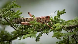 Worsening locust invasion threatens food security across East Africa