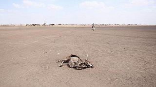 Afrique du Sud : les animaux victimes de la sécheresse