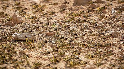 Locust outbreak reaches South Sudan: officials