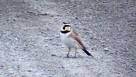 Ornithologie : un probable ancêtre de l'alouette cornue découvert en Sibérie