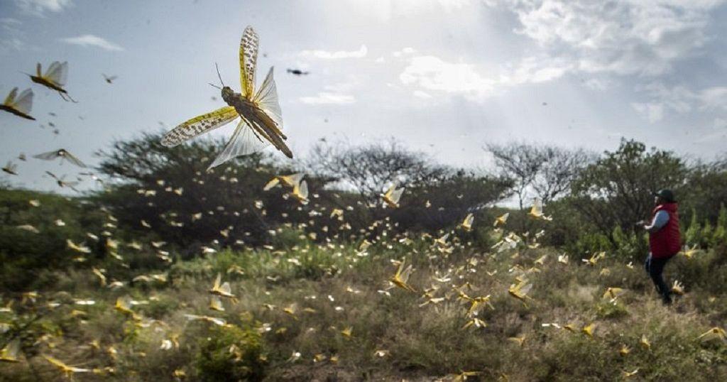 U.N. warns of 'major hunger threat' as locusts reach DR Congo | Africanews