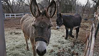 Kenya bans slaughter, export of donkeys; China stands to suffer