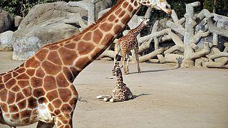 La girafe menacée d'extinction en Afrique