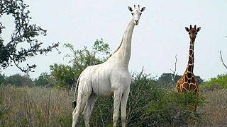 Kenya : l'unique girafe blanche femelle tuée par des braconniers