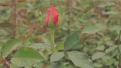Virus : la filière des roses kenyanes en difficulté