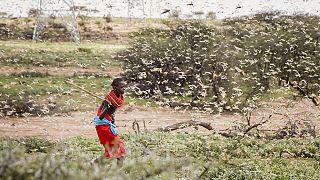 Criquets pèlerins : la Russie au chevet de l'Afrique orientale