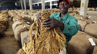 Zimbabwean farmers start selling tobacco crop following coronavirus delay