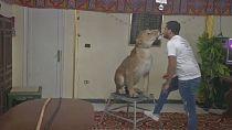 Egypte: des spectacles de félins en ligne
