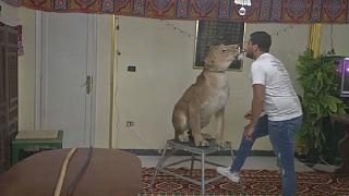 Egyptian lion tamer brings circus show home during pandemic