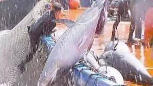 Bluefin tuna still on the hook, ban vote fails