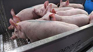 Peste porcine africaine: l'Afrique du Sud et le Togo signalent des cas