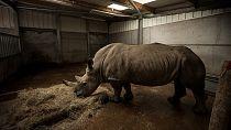 Kenya : fécondation des rhinocéros blancs du Nord