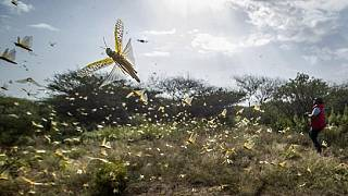 Locusts threaten food supplies in Kenya
