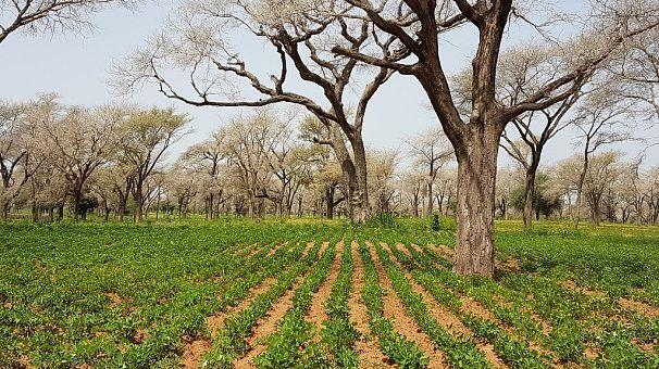 Sénégal : l'agriculture impactée par le coronavirus