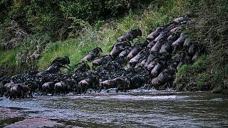 Kenya : migration spectaculaire des gnous