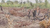 Congo : la déforestation de la région du Pool inquiète
