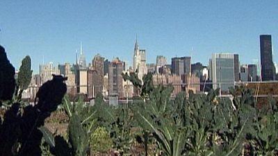 Gemüse von den Dachgärten in New York