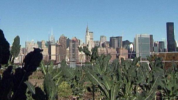 Top of the crops in NYC's rooftop farms
