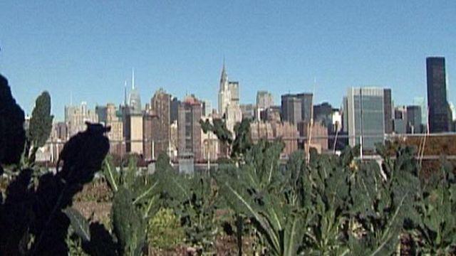 Hortas florescem nos terraços de Nova Iorque
