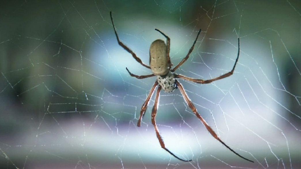 Aranhas têm solução médica para reparar cartilagens e ossos humanos