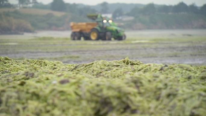 """الطحالب الخضراء تجتاح سواحل فرنسا الشمالية """"لا بروتاني"""""""