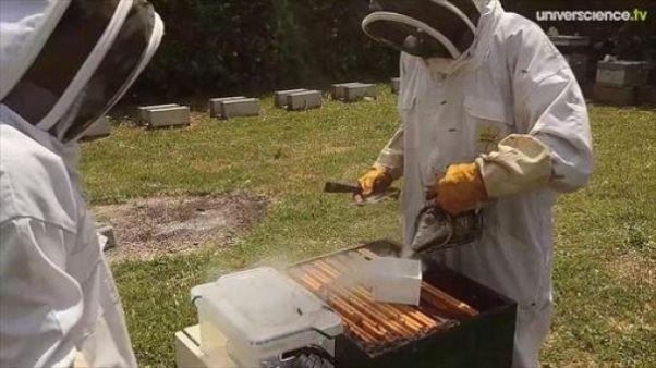 Des puces RFID au secours des abeilles