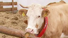 Yvonne the Cow – in the footsteps of Paul the Octopus?