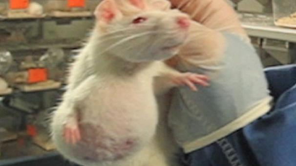 GMO rat lab gets serious