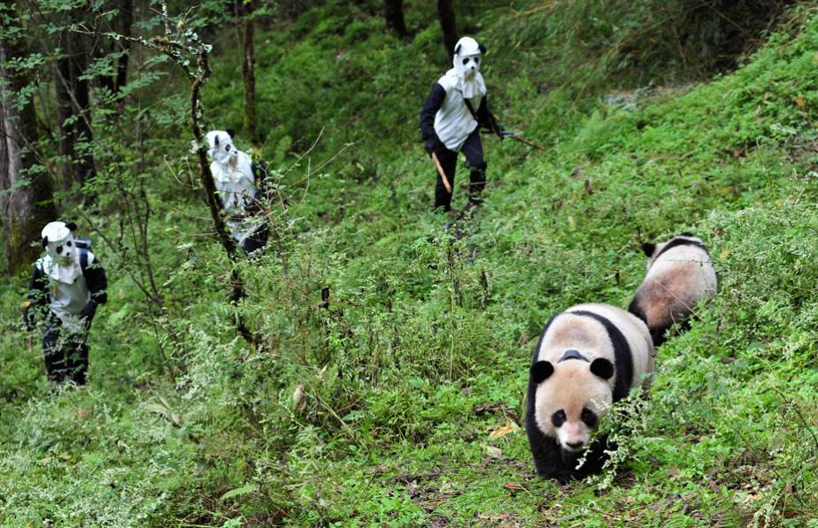 Chinese panda people go incognito