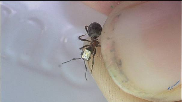 UK researchers become ant-tag-onists