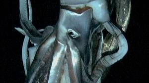Giant squid captured in deep ocean water