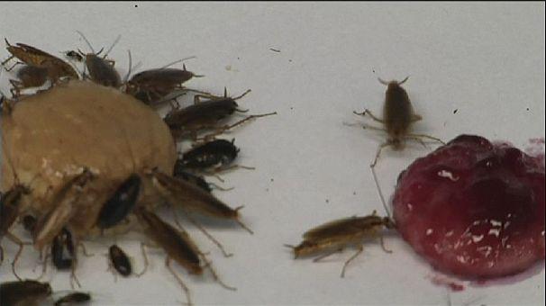 Las cucarachas nacen, crecen, se reproducen y… evitan la glucosa para sobrevivir
