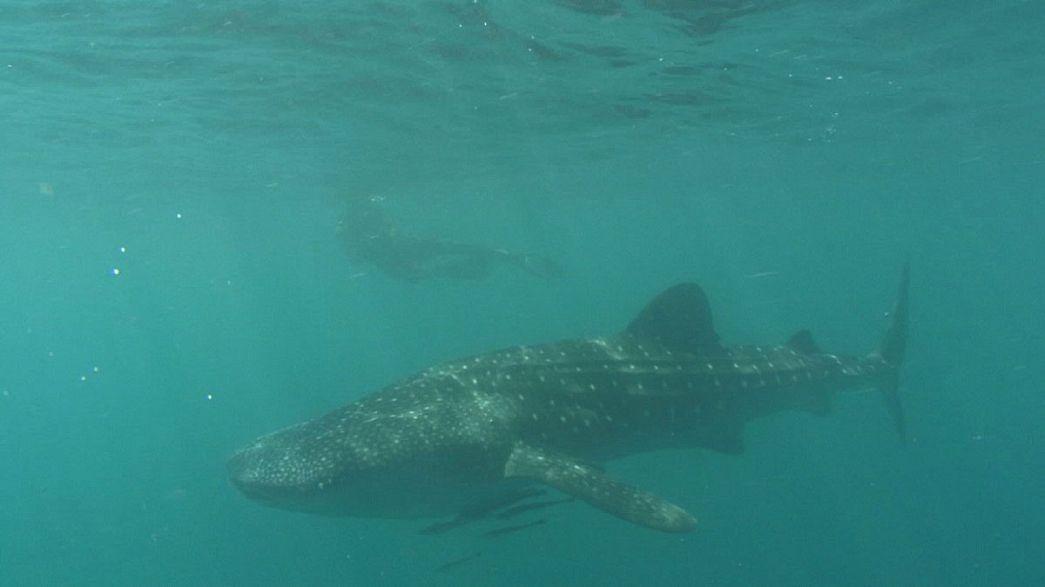 Филиппины. В гостях у китовых акул