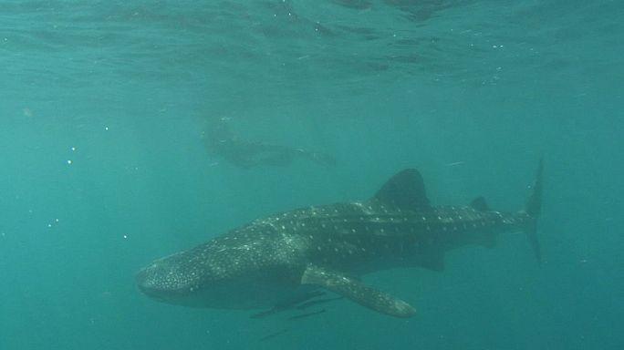 اسماك القرش العملاقة في خليج دونصول في الفلبين