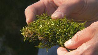 جلبک هایی که هوا را تمیز می کنند
