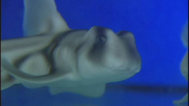 Arab Tube Born http://arabic.euronews.com/2013/06/12/test-tube-sharks-born-in-lisbon/