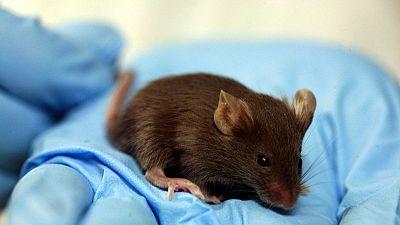 Japon : les souris ont la vie dans le sang