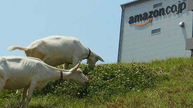Amazon hires goats for office landscaping