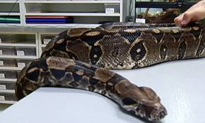 Canadian police launch a criminal investigation into python attack