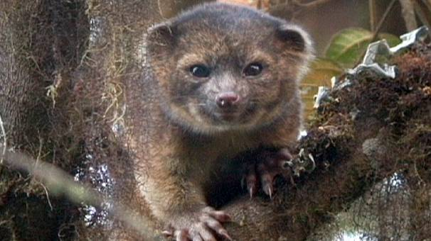 Meet the 'Olinguito' – the newest mammal discovery