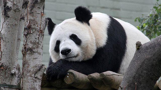 Edinburgh awaits pitter-patter of tiny panda paws